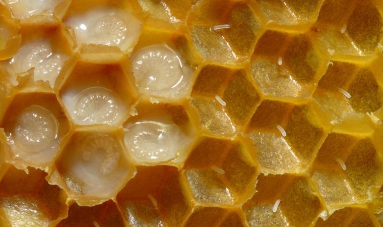 bienfait du miel gelee royale