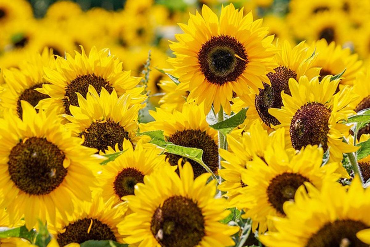 calendrier floraison abeille juillet