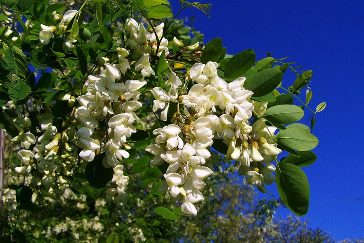 calendrier floraison abeille mai