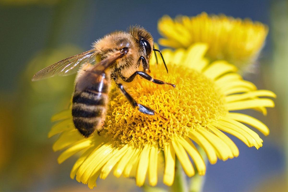 ruche abeille butineuse