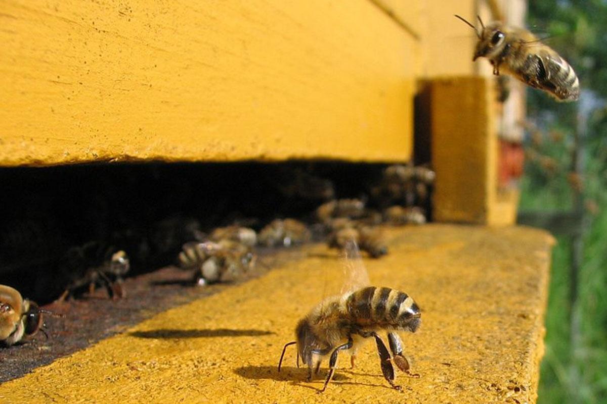 ruche abeille gardienne