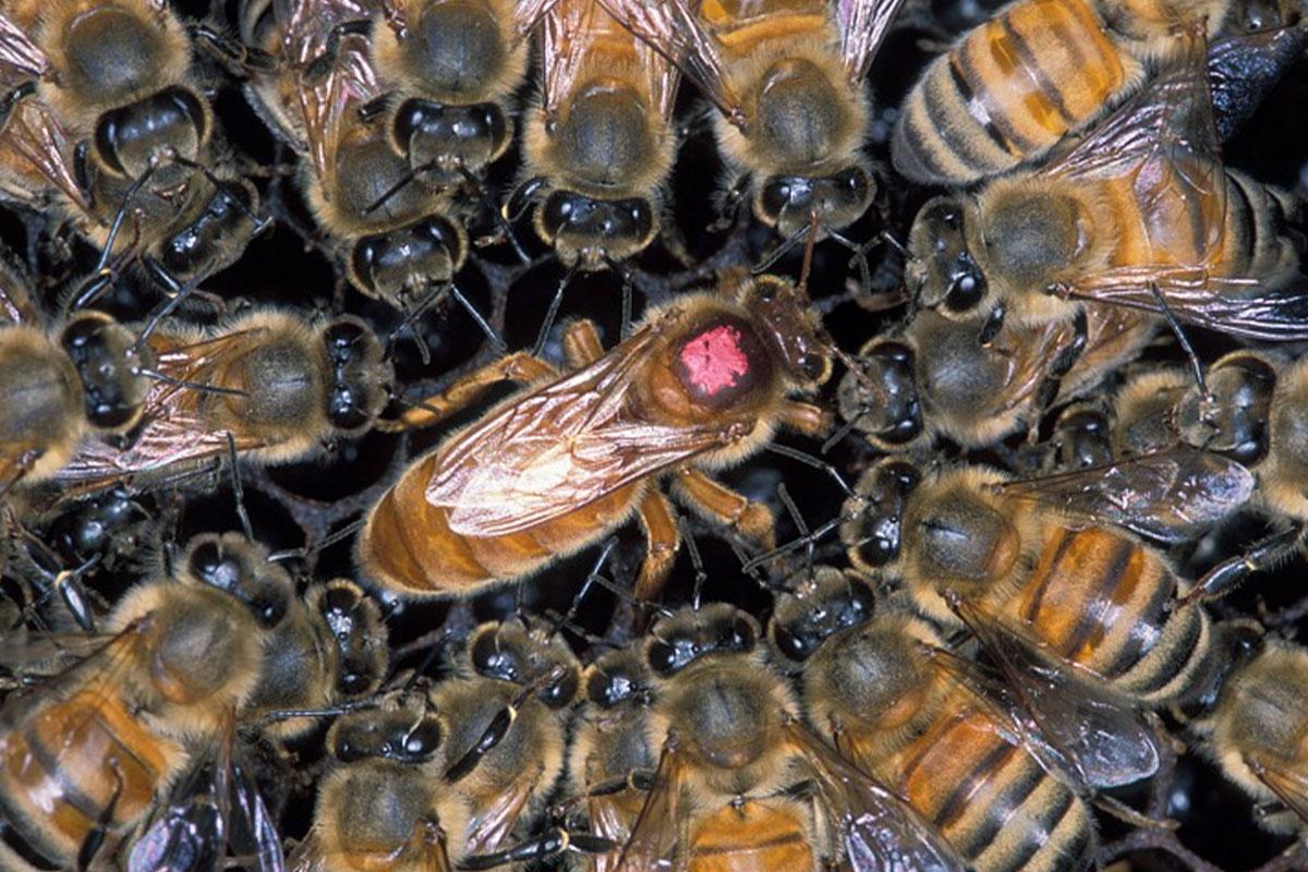 ruche abeille reine