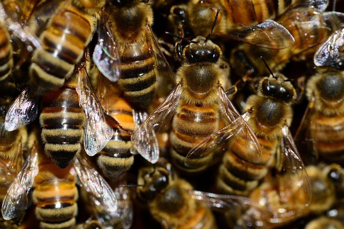 ruche abeille ventilleuse